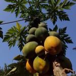 Papaya-Plantage neben dem Balkon